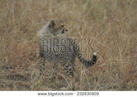 Cheetah Cub(acinonyx Jubatus) Duma In Heart Of Masai Mara In  Kenya.
