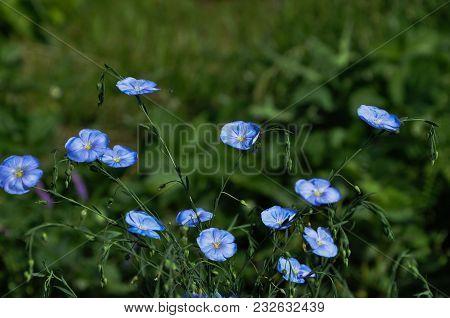 Blue Flowers On Dreen Field In Sunny Day
