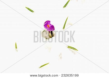 Bright Purple And Yellow Crocus Flower And Green Leaves Emerging Through Snow