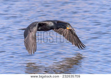 Double-crested Cormorant In Flight Above Still Blue Waters