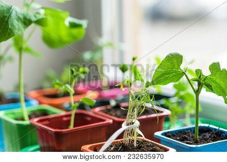 Garden On The Windowsill, Seedlings In Peat Pots. Baby Plants Seeding
