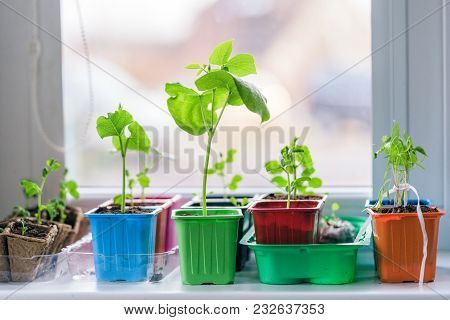 Garden On The Windowsill, Seedlings In Peat Pots. Baby Plants Seeding