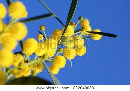 Golden Wattle Acacia Pycnantha. Coojong, Blue-leafed Wattle, Acacia Saligna Yellow Blossoming Of Mim