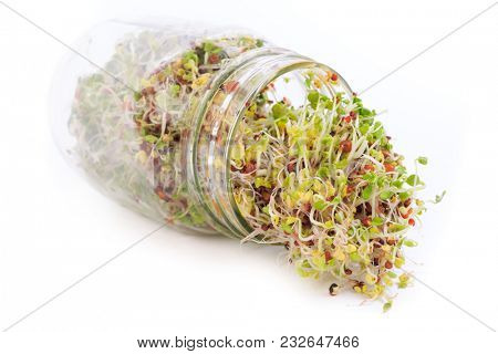 A fresh mixture of arugula, radish and broccoli sprouts.