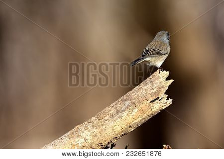 A Female Dark-eyed Junco Perched At The End Of A Broken Branch Looking Away, With A Natural Brown Ba