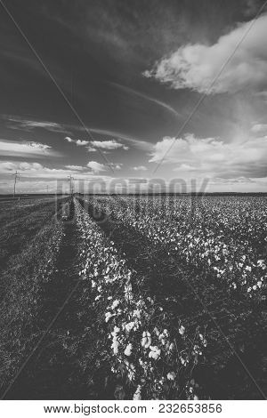 Cotton Field In The Countryside.