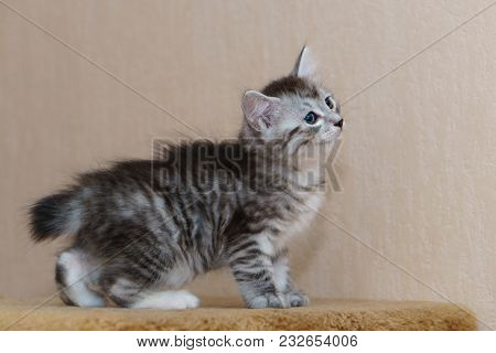 Nice Gray Kitten. Long-haired Breed Of Cats. Home Life Of Pets