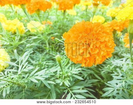 Orange Marigold Flower On A Background Of Green