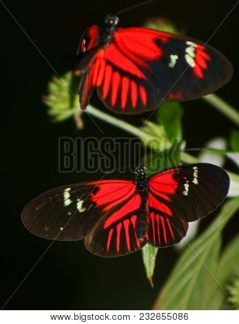 Two Red Butterflies With Black On Their Wings, Perched On A Plant.