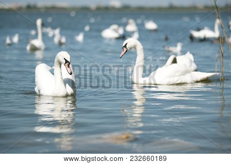 Flock Of White Graceful Swans Swimming In Blue Water Of Pond.