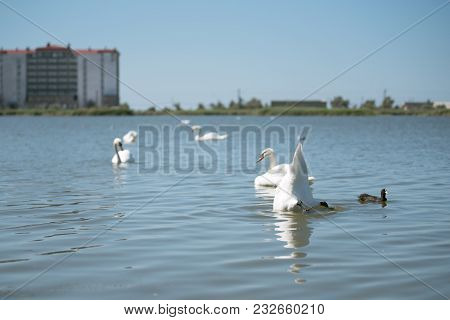Swans In Pond Floating And Diving In Blue Water Of Pond In Urban Park.