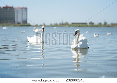 Graceful Couple Of White Beautiful Swans Swimming In Lake Water.