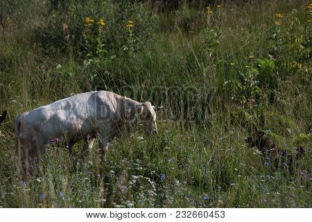Big Cow Standing In Grassland In Sunny Day And Pasturing.
