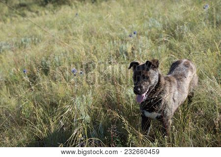 Cute Big Mongrel Dog Standing On Field In Sunny Day.