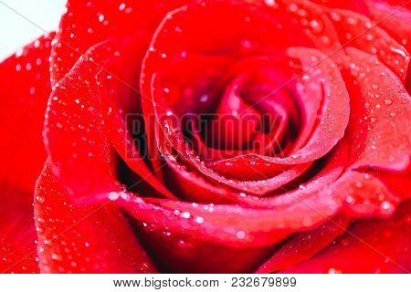 Beautiful Delicate Red Rose Flower Petal With Dew Rain Drops Macro View. Passion Concept.