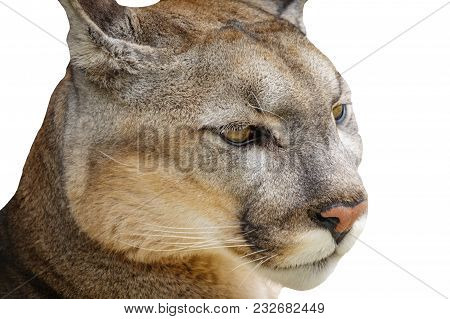 Closeup Of Cougar Head Isolated On White