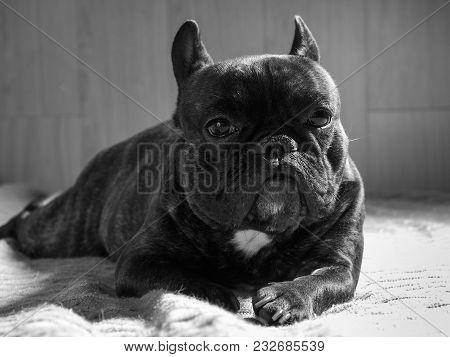 Dog Black And White Portrait. French Bulldog