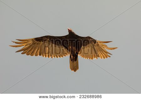 Flying Turkey Vulture (cathartes Aura) On A Blue Sky Background In Sugar Valley Close To Trinidad, C