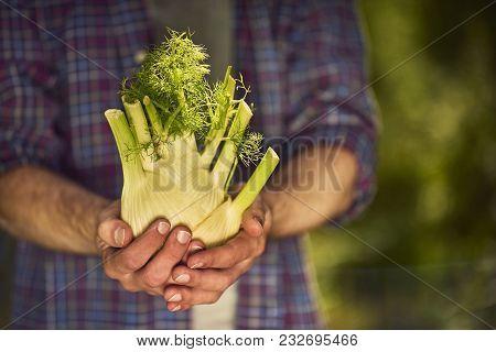 Organic Vegetables. Farmers Hands With Freshly Harvested Vegetables. Fennel