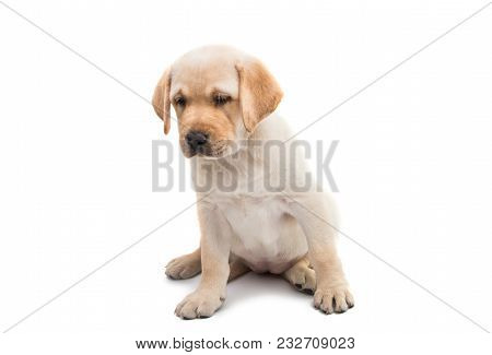 Puppy Labrador Doggy Dog Isolated On White Background