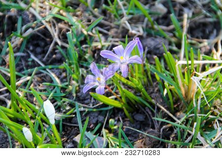 Glory-of-the-snow (chionodoxa Luciliae) Flowers On Spring