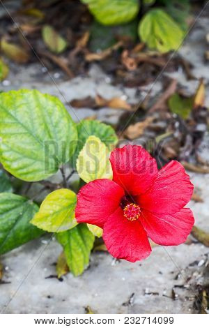 The Red Flower Of Hibiscus Rosa-sinensis, Aka Chinese Hibiscus And China Rose, Photographed In The M