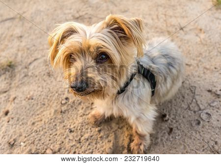 Wide Angle Of Cute Dog Face. Top View Doggy With Lovely Expression. Yorkshire Terrier