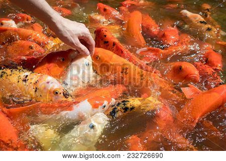 Human Hand Feeding Colorful Japanese Carp Fish In A Pond. Koi Carps Crowding And Competing For Food.