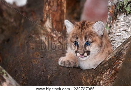 Female Cougar Kitten (puma Concolor) Licks Nose - Captive Animal