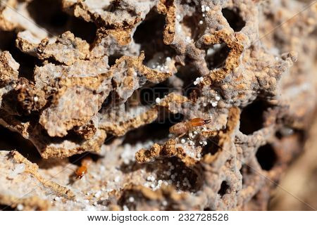 Fungi Growing Termite In Tunnels Of The  Nest.