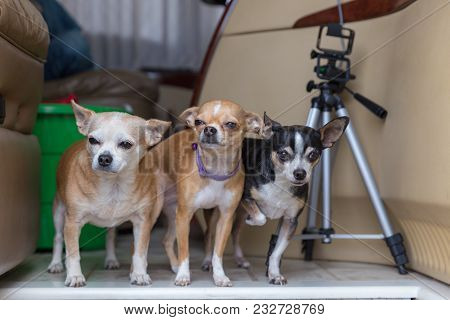 Chihuahuas Of Various Ages Standing Together In The Entryway Of A Motorhome. Tripod Stand And Storag
