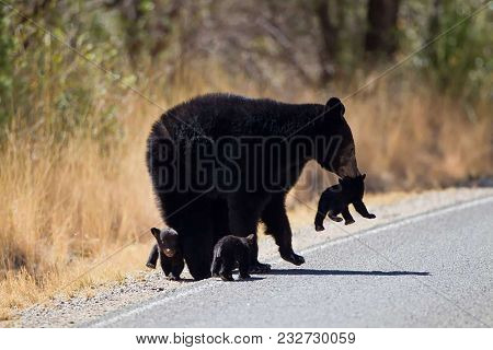Mama Black Bear Taking Care Of New Cubs
