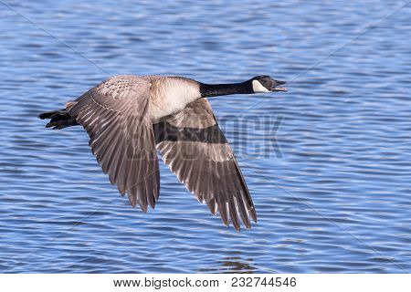Canada Goose In Flight With Reflection Over Blue Water