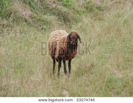 Solitary Brown Sheep