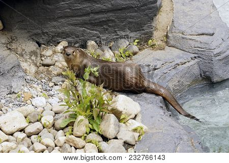 North-american Otter In A Simulated Habitat In An Animal Reserve.