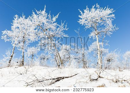 Horizontal Image Of Beautiful Snow Covered Trees Standing On Snow Covered Ground And A Bright Clear