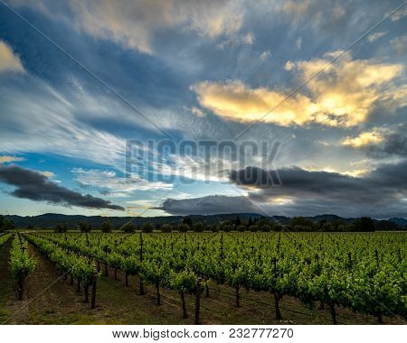 Dramatic Sunset Clouds Over Napa Valley Vineyard In Summer. Blue Skies, Green Vines In California Wi