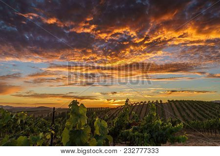 Brilliant Summer Sunset In Sonoma Vineyard. Colorful Sky And Clouds, Green Vines In California Wine