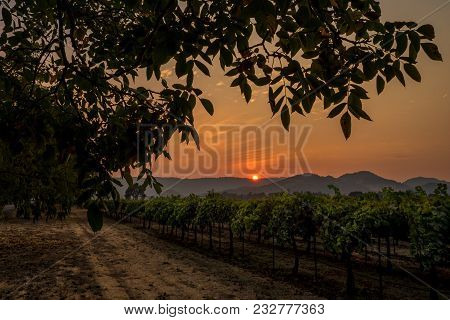 Orange Hazy Sky In Napa Valley Vineyard At Sunset At Sunset. Dirt Road And Tree In California Wine C