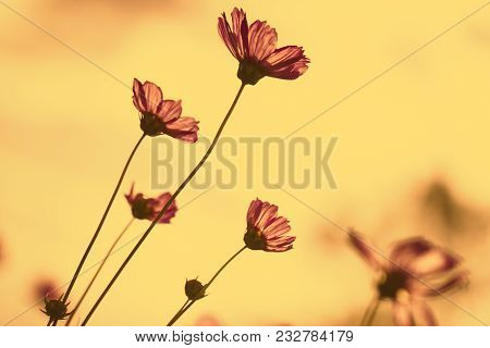 Cosmos Flowers In Morning Amber Light Sky