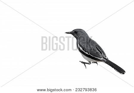 Closeup Oriental Magpie Robin Or Copsychus Saularis Isolated On White Background, Clipping Path