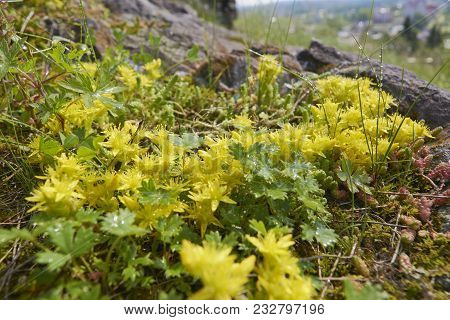 Close-up Flowering Sedum Acre Plant Yellow Flowers In The Mountains In Summer