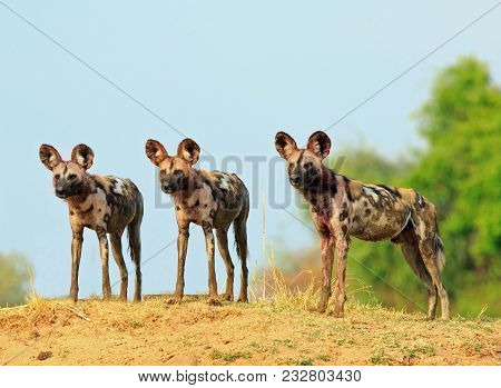 Scenic View Of Wild Dogs (lycaon Pictus) Painted Dogs Standing On Topof A Sandbank Surveying The Are