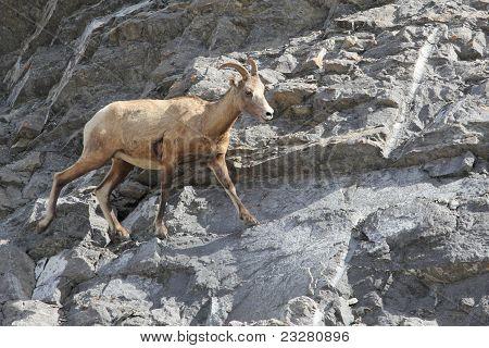 Rocky Mountain Bighorn Sheep  (Ovis canadensis canadensis) on a Rock Precipice