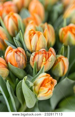 Tulips Of Orange Color. Big Buds Of Multicoloured Tulips. Floral Natural Backdrop. Bicolour Tulips F