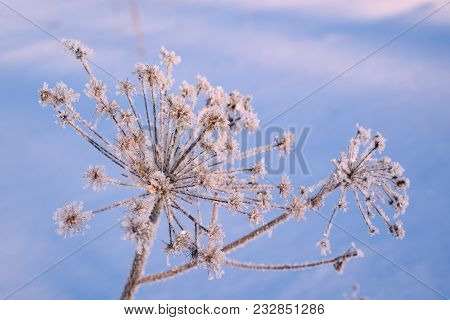 White Hoarfrost On A Dry Inflorescence Close Up Against The Blue Sky