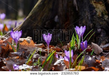 Purple Crocus Flowers Near The Stump. Beautiful Springtime Scenery In Forest On A Sunny Day. Power O
