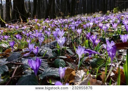 Meadow With Wild Crocuses In Forest. Beautiful Springtime Scenery On A Sunny Day. Power Of Nature Co