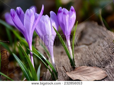 Purple Crocuses In The Forest. Beautiful Springtime Scenery On A Sunny Day