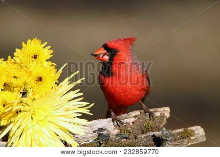 Male Cardinal Sitting On Mossy Tree Branch With Sunflower Seeds In His Beak, Along Side Yellow Chrys